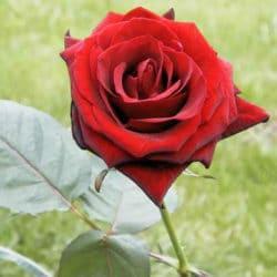 Baccara_Rose